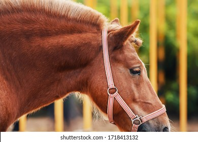 A beautiful pony with a trimmed mane against the background of a yellow fence on the farm, through which the leaves of plants break through in the summer.