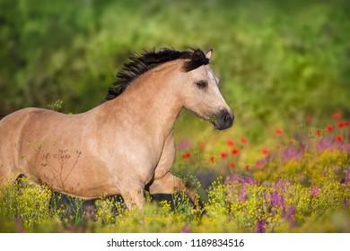Beautiful ponyrun  in poppy flowers