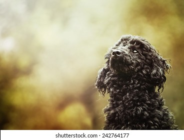 beautiful poodle dog puppy is waiting in autumn nature