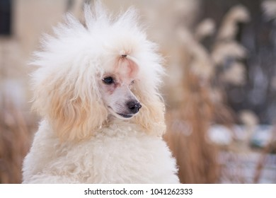 Beautiful poodle puppy playing outside in the snow.