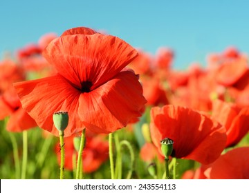Beautiful poppies bloom amidst poppy fields in pastel colors