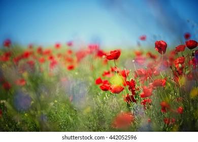 beautiful poppies field