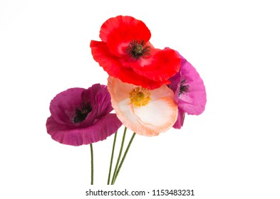 beautiful poppies isolated on white background