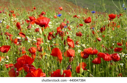 Beautiful poppy and daisies field .
