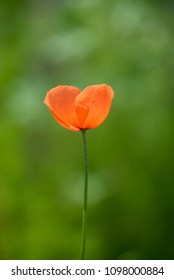 Beautiful poppy with faded background