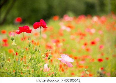 Beautiful poppy field on a cloudy spring day, selective focus