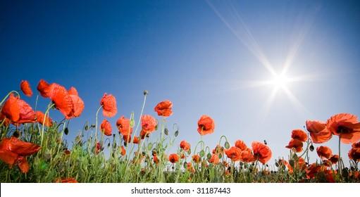 Beautiful poppy field, panoramic shot
