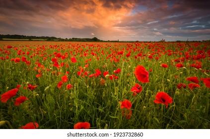 `beautiful poppy field at sunset