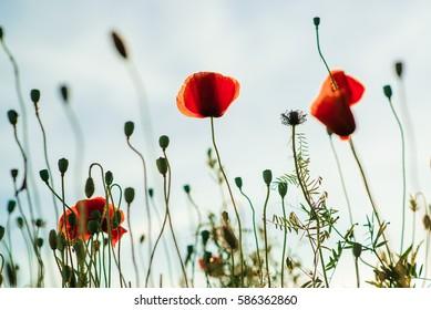 A beautiful poppy flower in the sky.