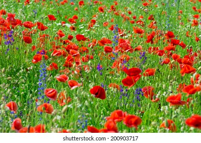 Beautiful poppy flowers in the field