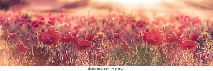 Beautiful poppy flowers in meadow, wild red poppy flowers lit by sun rays in late afternoon