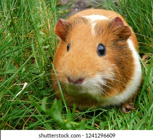 Beautiful portrait of abyssinian orange guinea pig close-up on green grass background