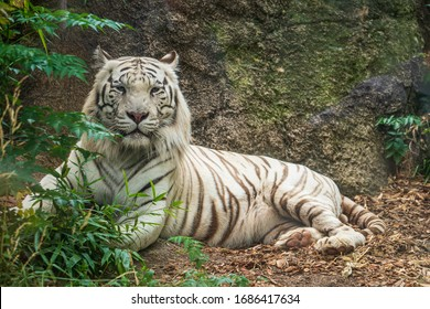 The beautiful portrait of a bengal tiger