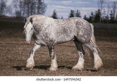 Beautiful portrait of a big Shire horse