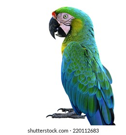 Beautiful Portrait of Buffon's Macaw, the nice green bird isolated on white background