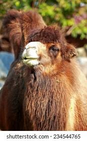 Beautiful portrait of a camel close up