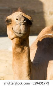 Beautiful portrait of a camel sitting near ancient wall in historic center of Khiva, Uzbekistan, Central Asia