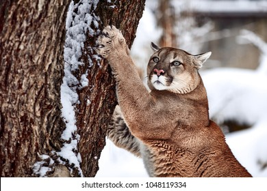 Beautiful Portrait of a Canadian Cougar. mountain lion, puma, cougar behind a tree. panther, Winter scene in the woods. wildlife America