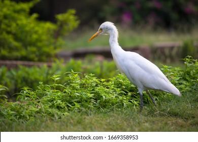 Beautiful Portrait of a Cattle Egret in its natural habitat