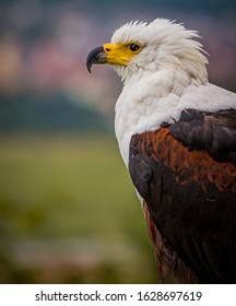 Beautiful portrait and closeup of an African Fish Eagle