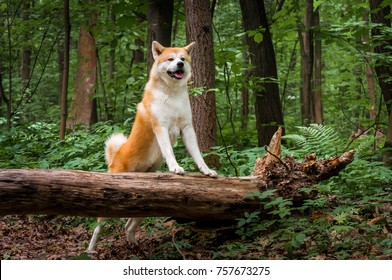 Beautiful portrait of a dog, the Akita Inu / Husky