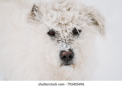 Beautiful portrait of a dog in the moutains, a lot of frosted snow on his face