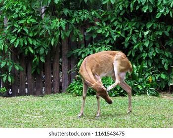 Beautiful portrait of Elds deer