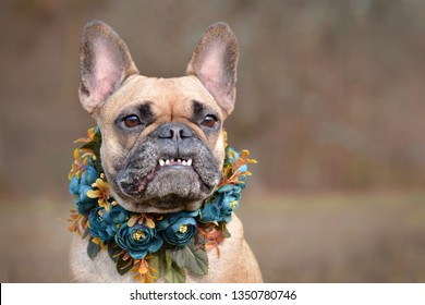 Beautiful portrait of a female brown French Bulldog dog showing smile with overbite wearing a selfmade bue floral collar in front of blurry background
