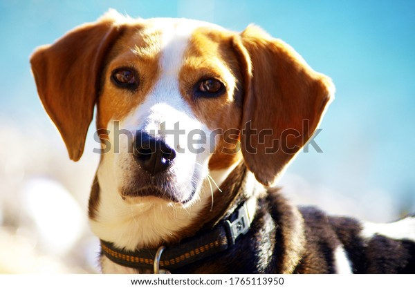 beautiful-portrait-female-dog-beagle-600