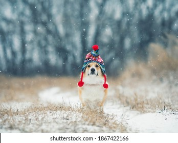 beautiful portrait funny a Corgi dog puppy sits in a winter Park in a knitted warm red hat under the falling snow