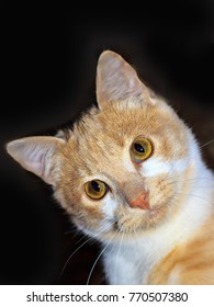 beautiful portrait of a Ginger Red Cat  on a black background