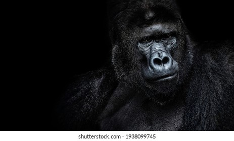 Beautiful Portrait of a Gorilla. Male gorilla on black background, severe silverback, anthropoid ape.