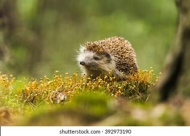 Beautiful portrait of Hedgehog in forrest on moss