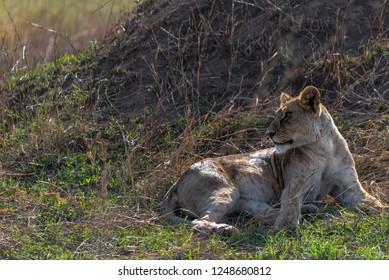Beautiful portrait of lioness lying down on the Serengeti plains, Tanzania