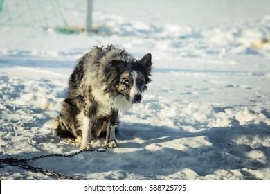 A beautiful portrait of a long distance siberian sled dog