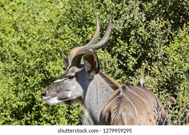Beautiful portrait of a male kudu antelope next to thick indigenous vegetation