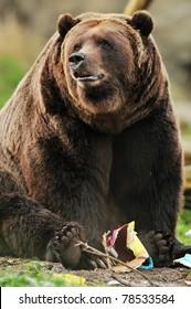 Beautiful portrait of a massive Alaskan Kodiak bear playing with a paper toy