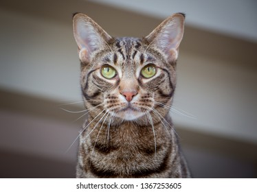 Beautiful portrait of an Ocicat cat with green eyes.
