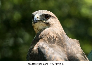 beautiful portrait of a Peregrine Falcon looking towards its left side in the hot summer sun