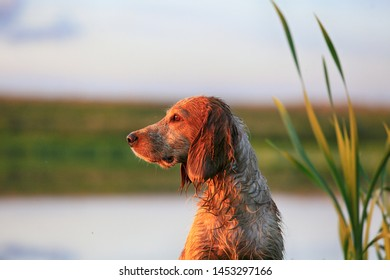 Beautiful portrait of a Russian hunting spaniel breed dog in the evening light hunting by the lake