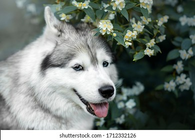Beautiful portrait of a Siberian Husky in flowers. Good quality photo