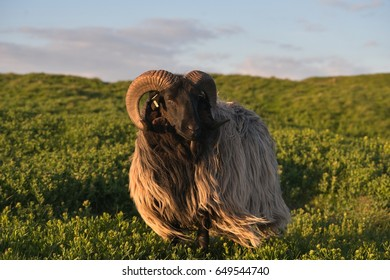 Beautiful portrait of single magnificent black sheep ram with long wool on the grazing land. Picture is taken in sunset on the german island Helgoland in the North sea in the spring time afternoon.