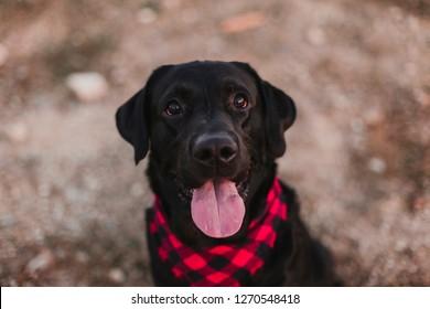 beautiful portrait of Stylish black labrador dog with red and black plaid bandana sitting on the ground. Pets outdoors. Modern lifestyle