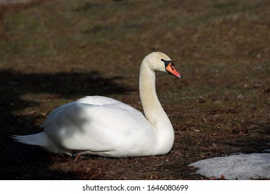 Beautiful portrait of a swan sitting on the grass
