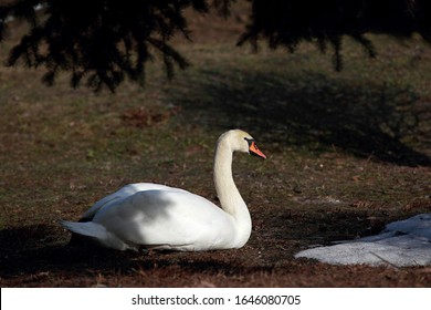 Beautiful portrait of a swan sitting under a tree crown