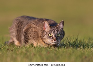 Beautiful  portrait of a tabby cat. Felis silvestris catus. European cat lurking in the grass.