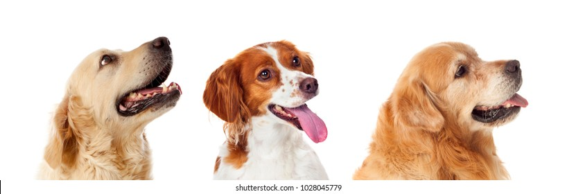 Beautiful portrait of three dogs isolated on a white background