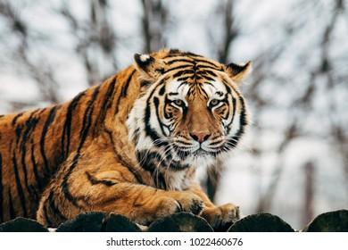 Beautiful portrait of a tiger
