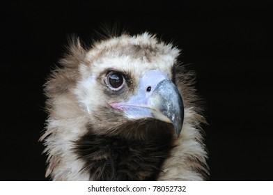 Beautiful portrait of a vulture, black background, high resolution