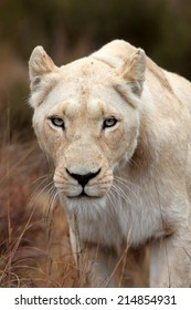 A beautiful portrait of a white lioness